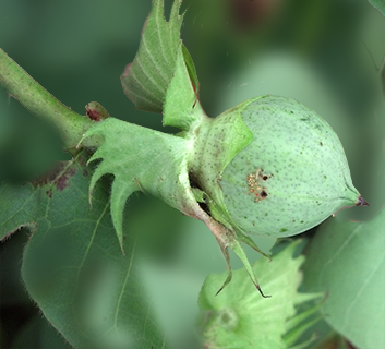 Organic Certification Services NC - cotton scouting - cotton pod